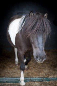 Shetland pony's